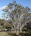 Banksia prionotes trees.jpg