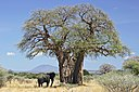 Baobab and elephant, Tanzania