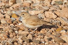 Bar-tailed Lark (4989718826) (cropped).jpg