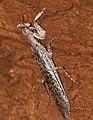Bark Mantis (Tarachodes sp.) (16527348160).jpg