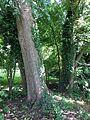 Bark of Ulmus x hollandica 'Belgica'.jpg