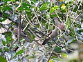 Barred cuckoo dove2.jpg
