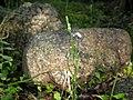 Bartonia paniculata (twining screwstem), West Greenwich, RI (36236735626).jpg