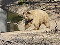 Bear at the Zoo de Lunaret.jpg