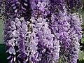 Beautiful wisteria - geograph.org.uk - 1274719.jpg