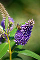 Bee On Purple Flower (2872177069).jpg