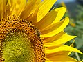 Bee on a sunflower.jpg