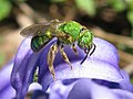 Bee on hyacinth 4.jpg