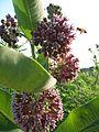 Bee woos milkweed - jb.jpg