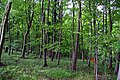 Beech woods in the Chilterns - geograph.org.uk - 1343916.jpg
