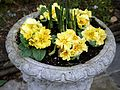 Beer garden primula flower urn at Ashfold Crossways, in Lower Beeding, West Sussex.jpg