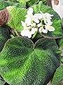 Begonia (6167204127).jpg