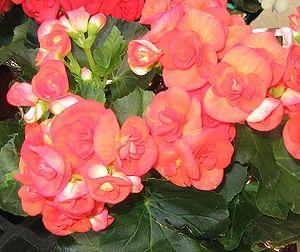 Begonia-Elatior-Hybrid A Begonia cultivar.
