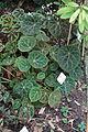 Begonia goegoensis - Botanischer Garten, Dresden, Germany - DSC08513.JPG