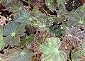 Begonia heracleifolia kz01.jpg