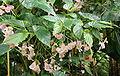Begonia naumoniensis.jpg