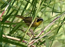 Belding's Yellowthroat.jpg
