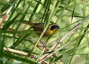 Description de l'image  Belding's Yellowthroat.jpg.