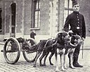 Belgian dogs trained to draw quick-firing guns.JPG