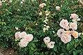 Bellingrath Gardens and Home 2018 rose garden Mother of Pearl 2.jpg
