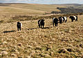 Belted Galloways on High-House Waste.jpg