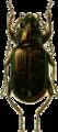 Bembidium inserticeps Jacobson.png