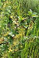 Berberis aetnensis kz01.jpg
