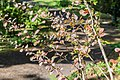 Berberis thunbergii in La Jaysinia (2).jpg