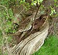 Birch seedlings in long dead Chestnut tree - Flickr - gailhampshire.jpg