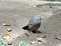 Bird in Peradeniya 01.JPG