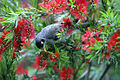 Bird on Bottlebrush (6225557181).jpg