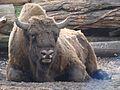 Bison bonasus in Poland (4).JPG