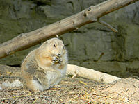 Black-Tailed Prairie Dog Eating.jpg