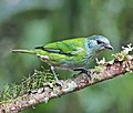 Black-capped Tanager (f) JCB.jpg