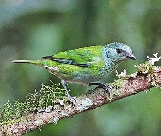 Black-capped tanager - female in northwestern Ecuador