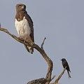 Black-chested snake eagle (Circaetus pectoralis) at Pilanesberg National Park, South Africa. (29993451057).jpg
