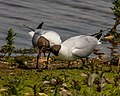 Black-headed Gulls Mating - First (17603142823).jpg