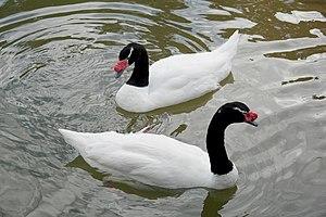 Black-necked swan - Black-necked Swan at San Francisco Zoo, USA