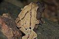 Black-spotted Narrow-mouthed Frog (Kalophrynus pleurostigma) in Amplexus2.jpg