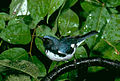 Black-throated Blue Warbler (5062204059).jpg