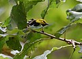 Black-throated Green Warbler (37360206540).jpg
