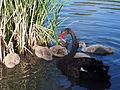 Black Swan and juveniles on Lake Tuggeranong October 2014.jpg