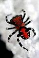 Black and red jumping spider - Phidippus johnsoni -.jpg
