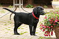 Black labrador puppy (2754841728).jpg