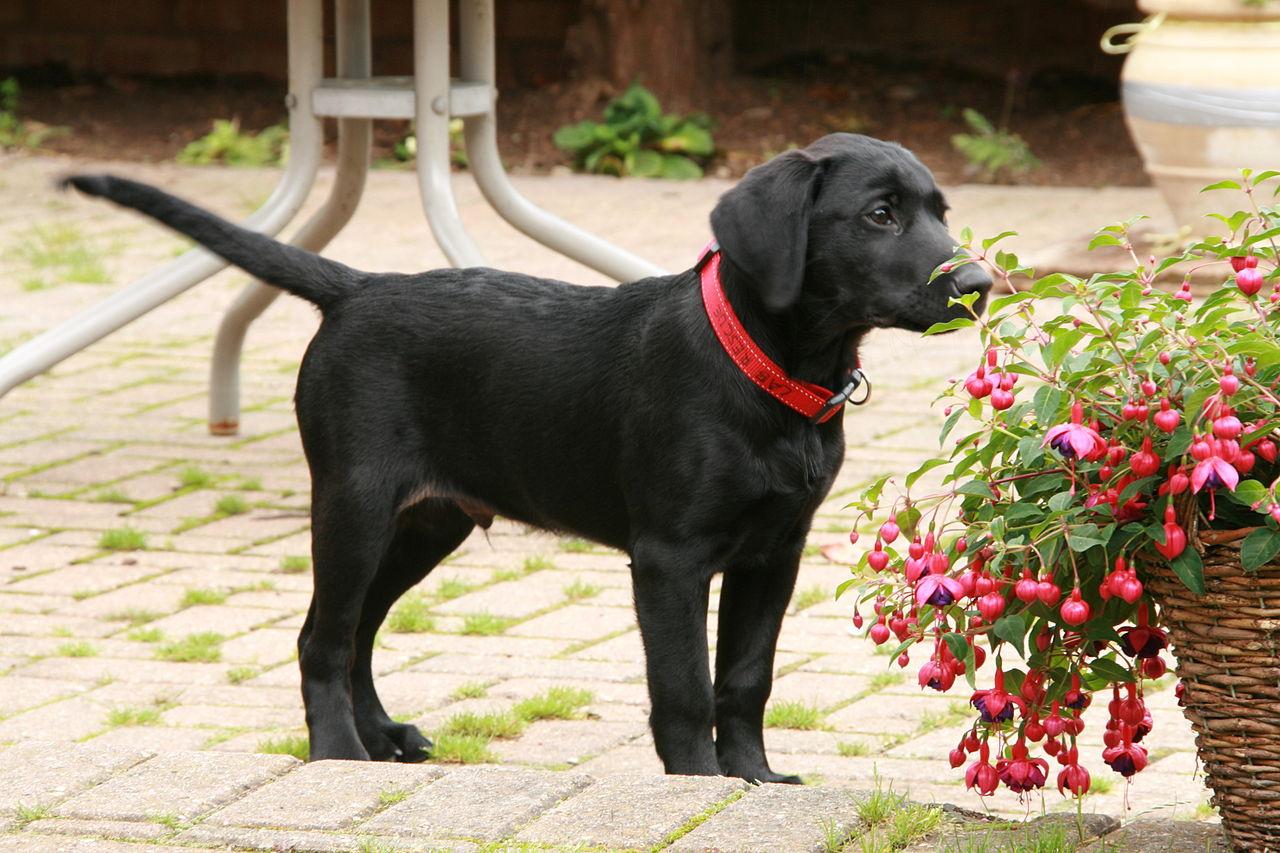Black Labrador Retriever puppy dog for sale in Montana USA