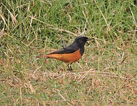 Black redstart, Phase 7, Mohali, Punjab, India.jpg