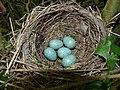 Blackbird Nest 24-05-11 (5783205251).jpg