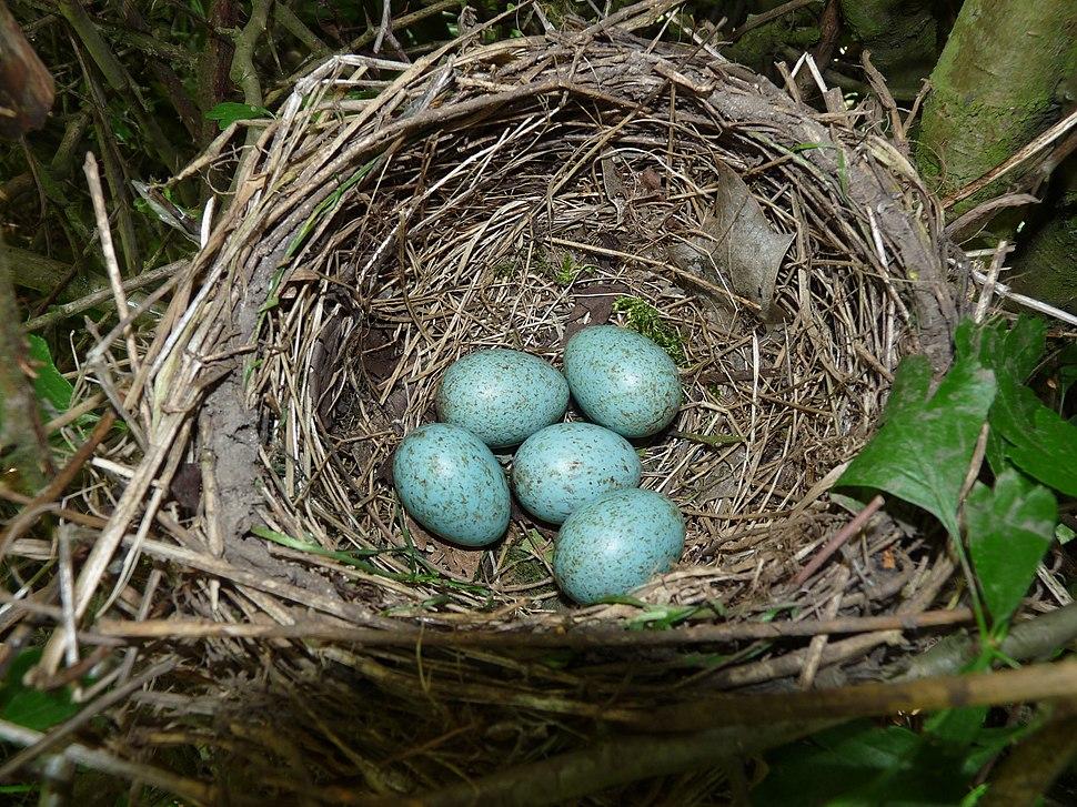 Blackbird Nest 24-05-11 (5783205251)