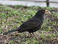 Blackbird in Madrid (Spain) 20.jpg
