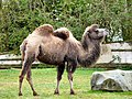 Blackpool Zoo camel (geograph 2960559).jpg